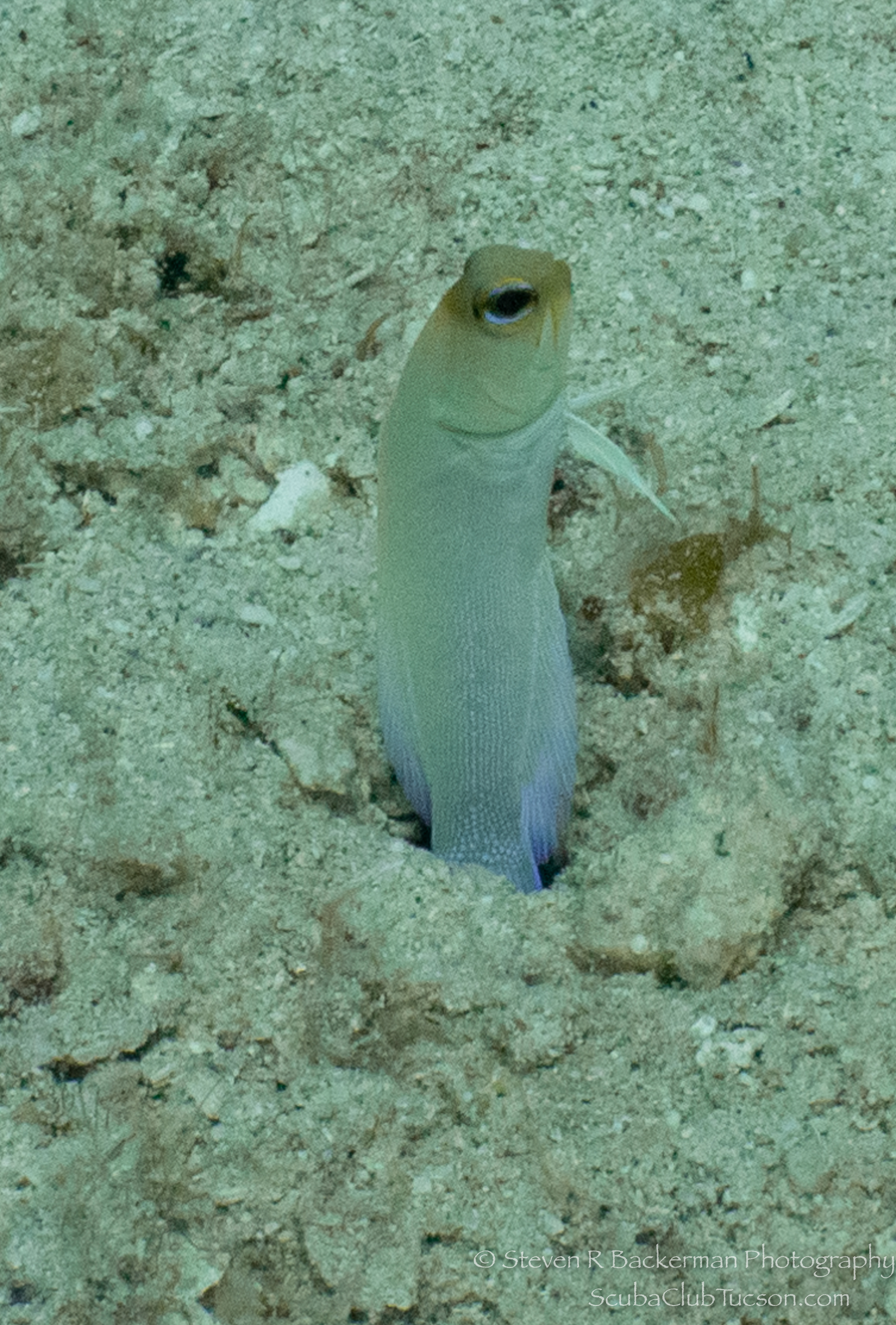 Yellowhead-Jawfish-4495