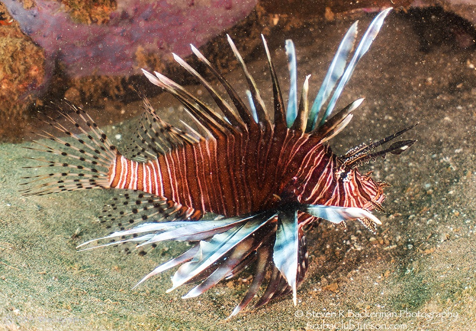 web Adult Red Lionfish1821