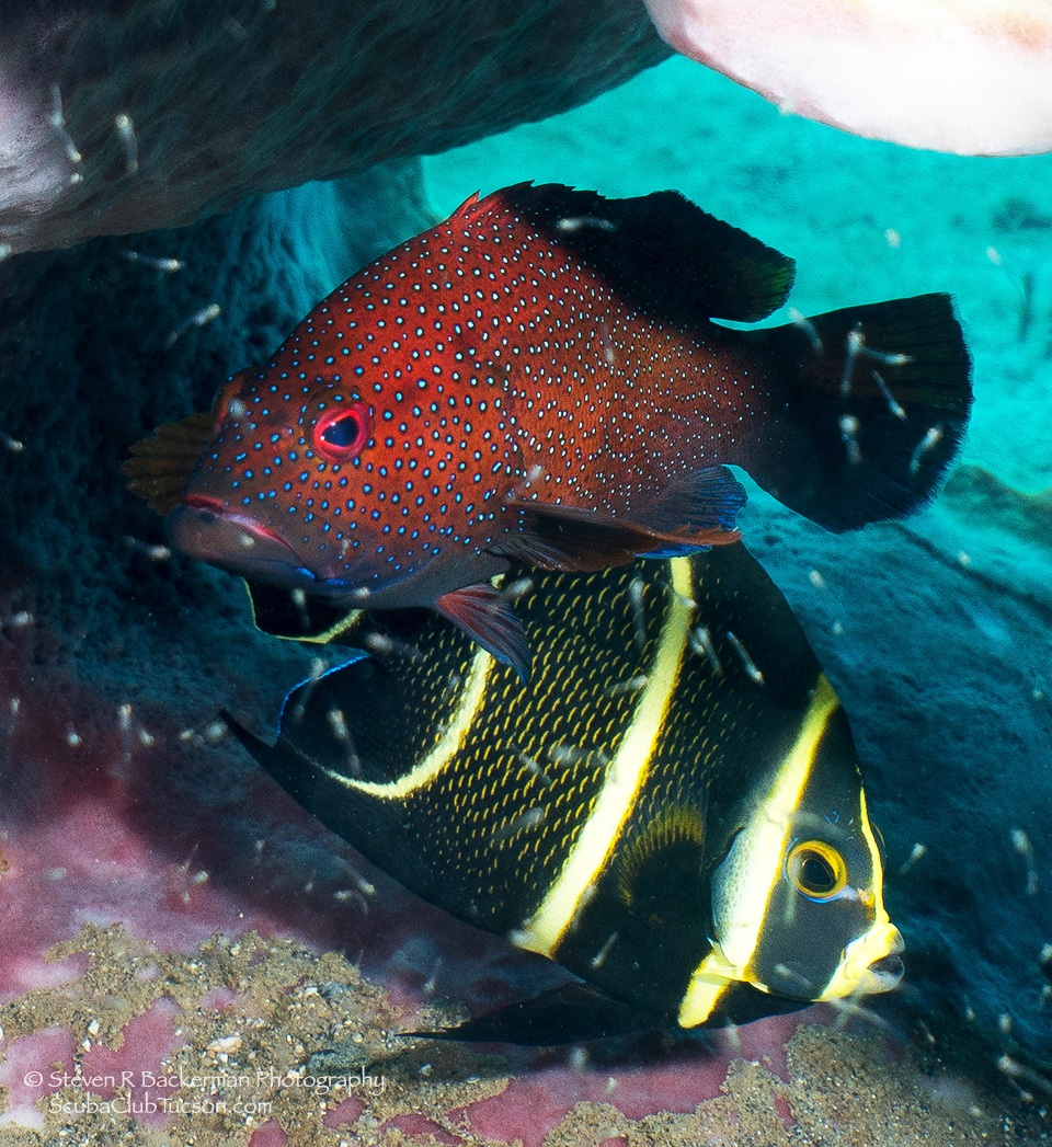 web Coney and Intermediate Phase French Angelfish-2515