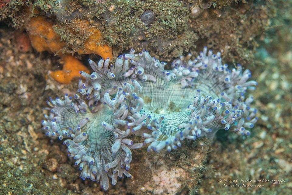 Aeolid Nudibranch-7708website