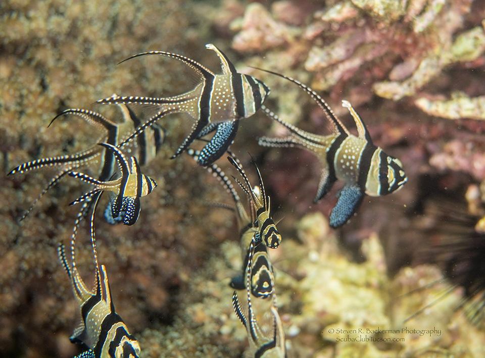 Banggai Cardinalfish-7441 website