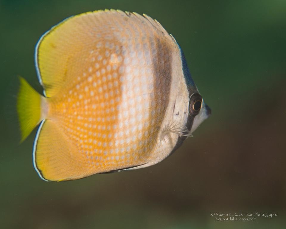 Blacklip Butterflyfish-7988website