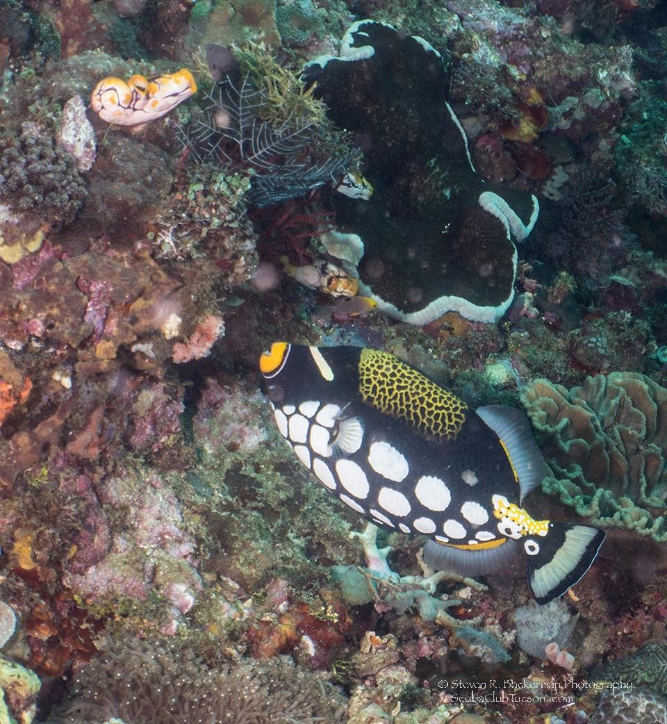 Clown Triggerfish 2-8259website