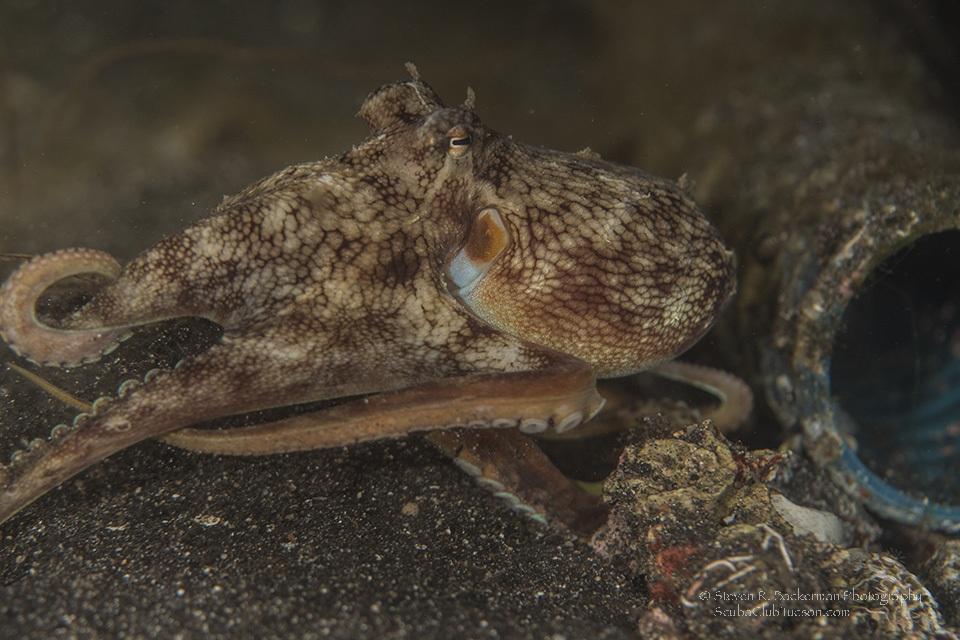 Coconut Octopus 3-8218w