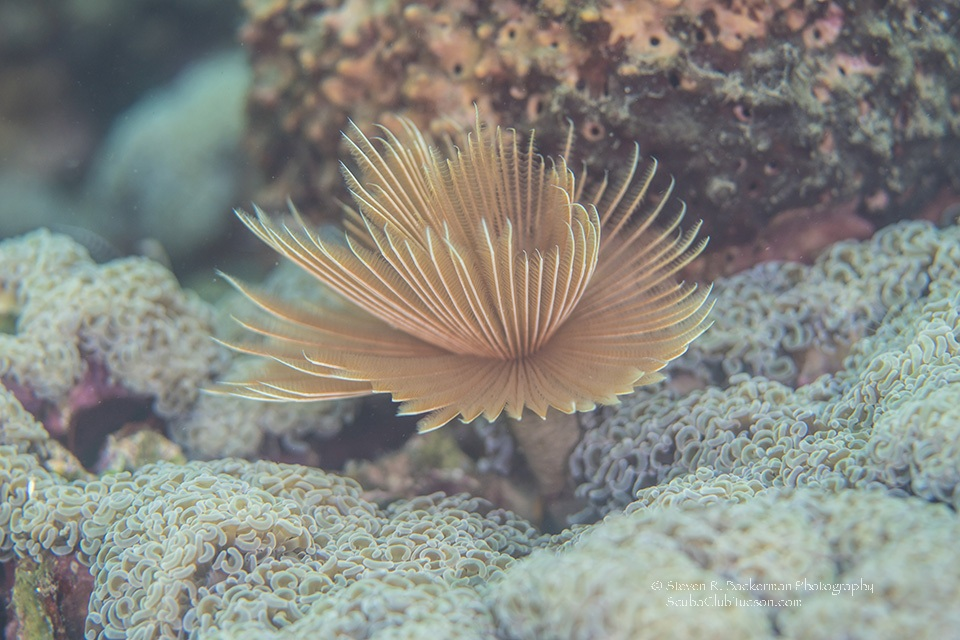 Common Featherduster Worm-7446website