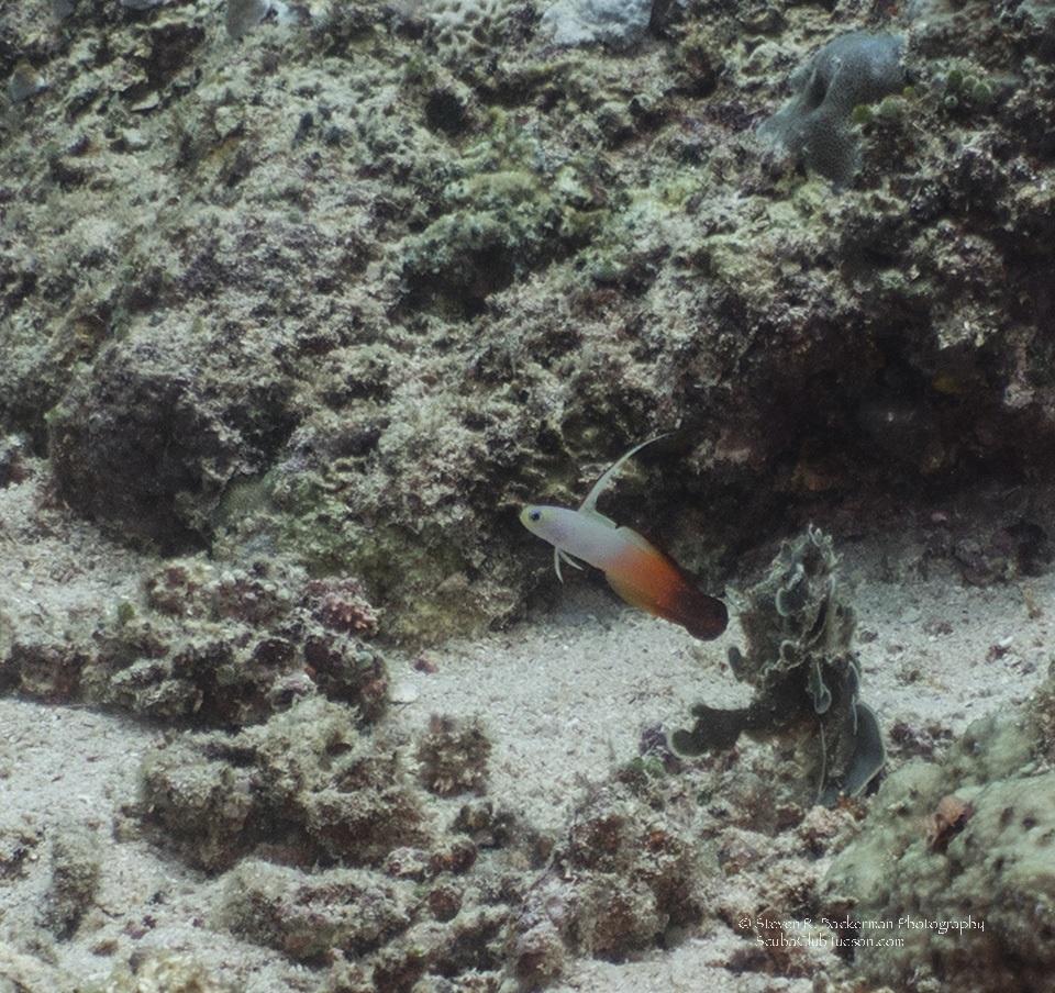 Fire Dartfish-8445w