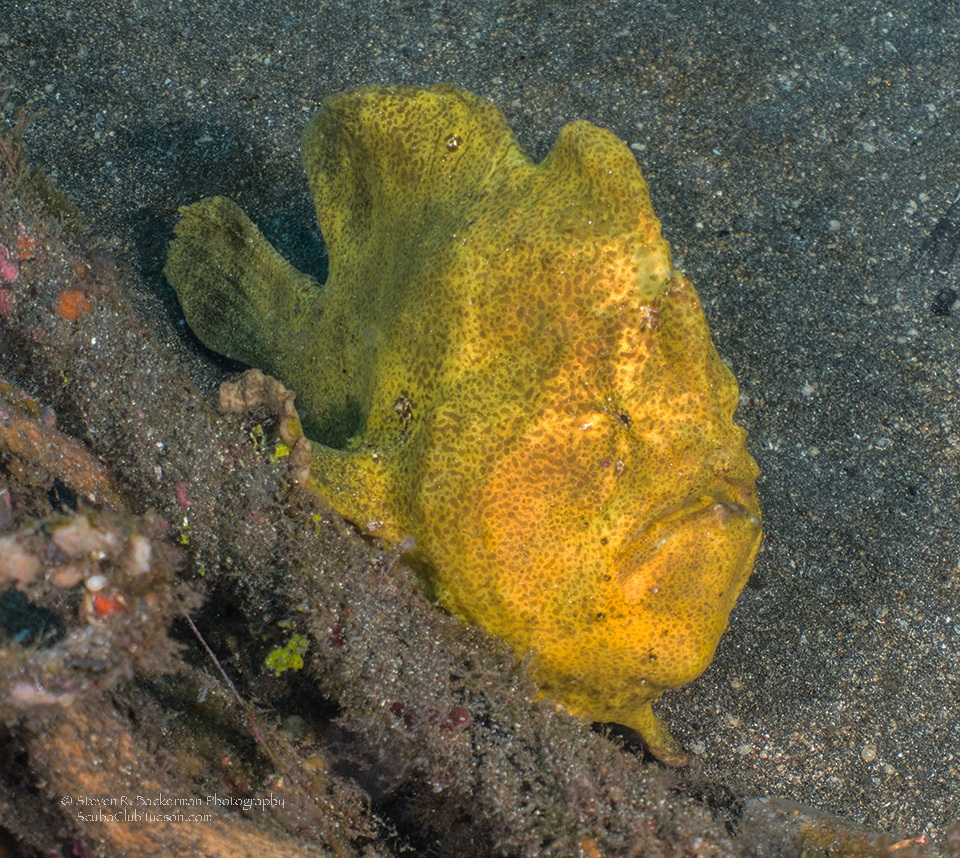 Giant Frogfish 2-9075website