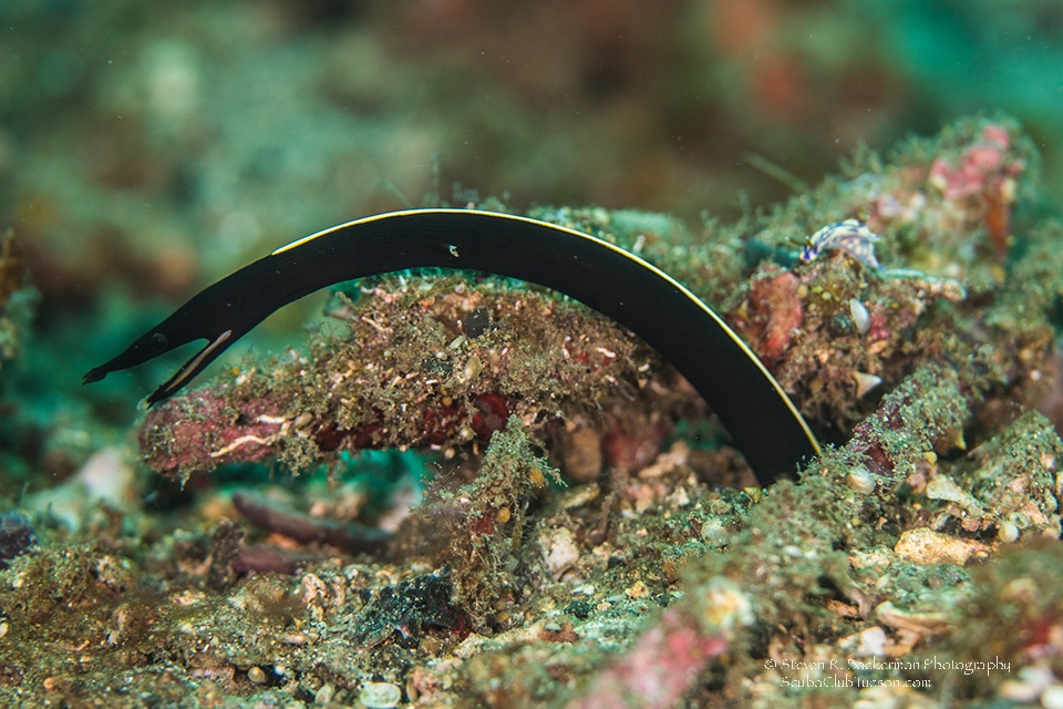 Juvenile Ribbon Eel Notice Nudibranch-7768website