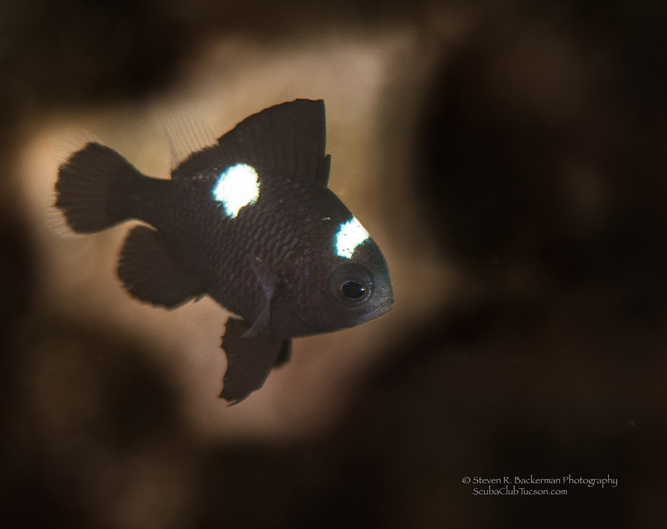 Juvenile Three-spot Dascyllus-7330 website