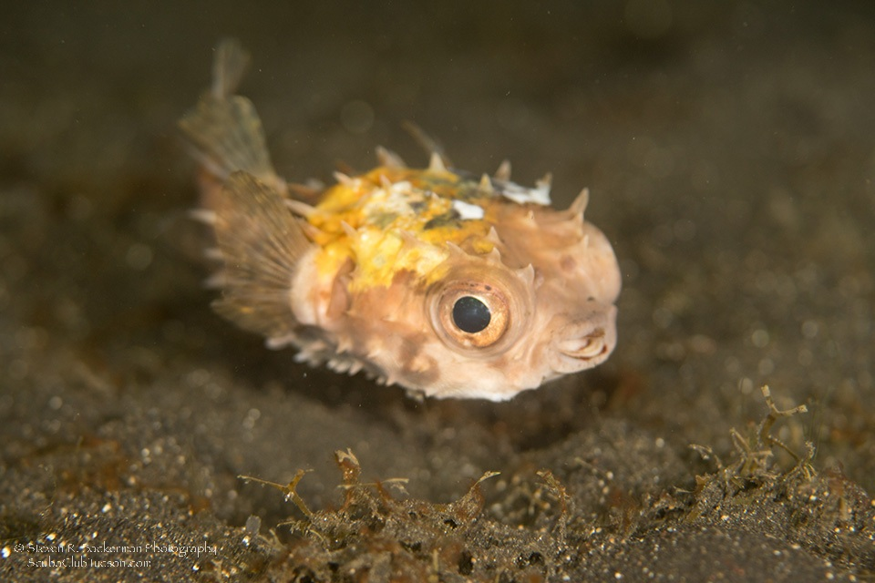 Juvenile Yellowspotted Burrfish-7474website