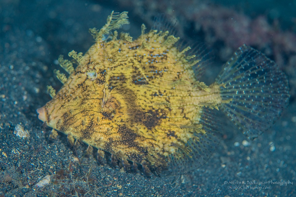 Leafy Filefish-7522website