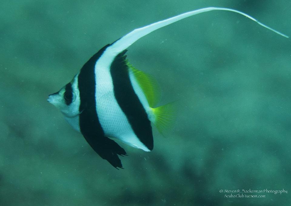 Longfin Bannerfish-7127w