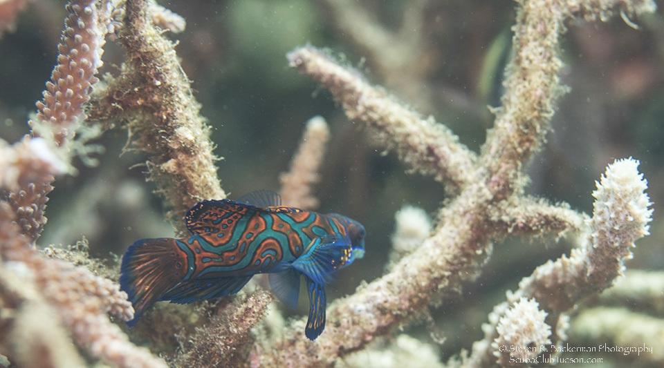 Mandarinfish-7793w
