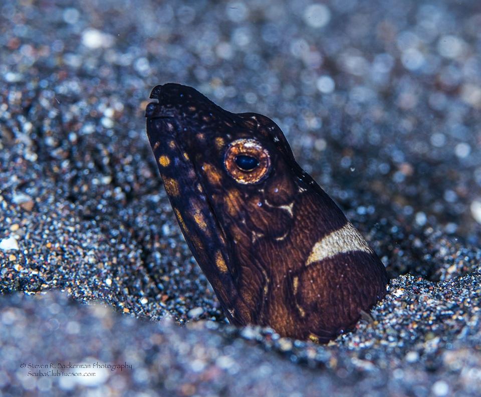 Napolean Snake Eel-8815w