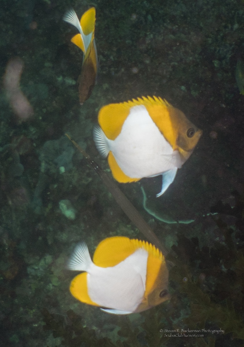 Pyramid Butterflyfishes....notice the tail of the Trumpetfish between the bottom two.-8318website