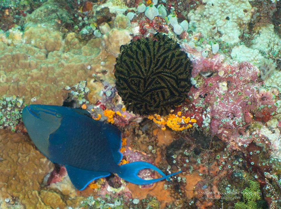 Redtooth Triggerfish-8390website