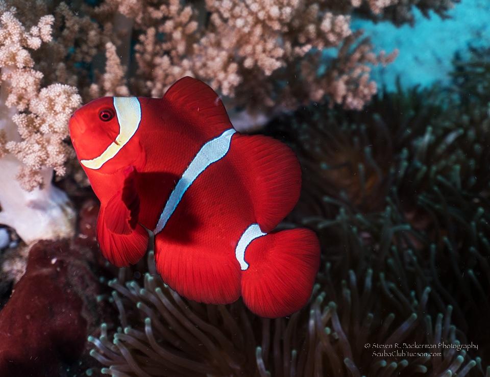 Spinecheeck Anemonefish-8511w