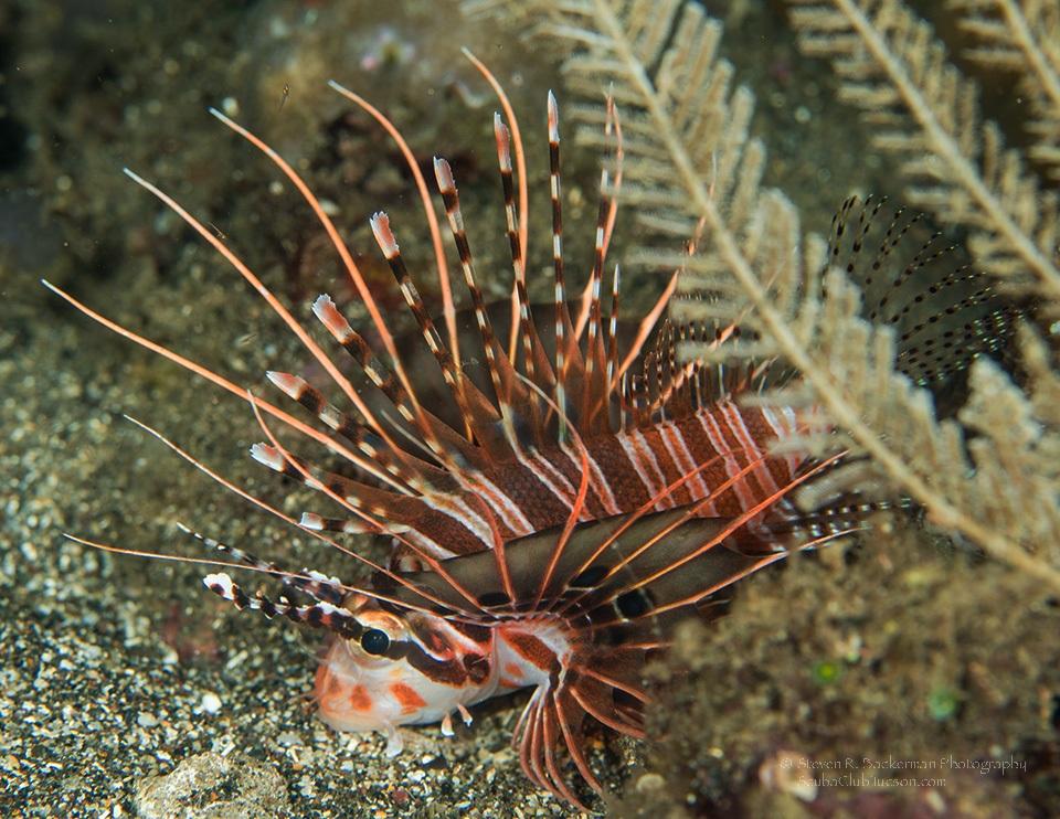 Spotfin Lionfish-8908website