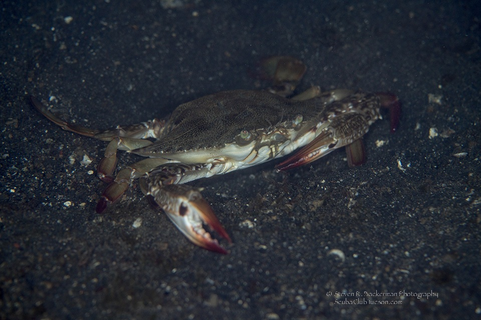 Swimming Crab-8080website