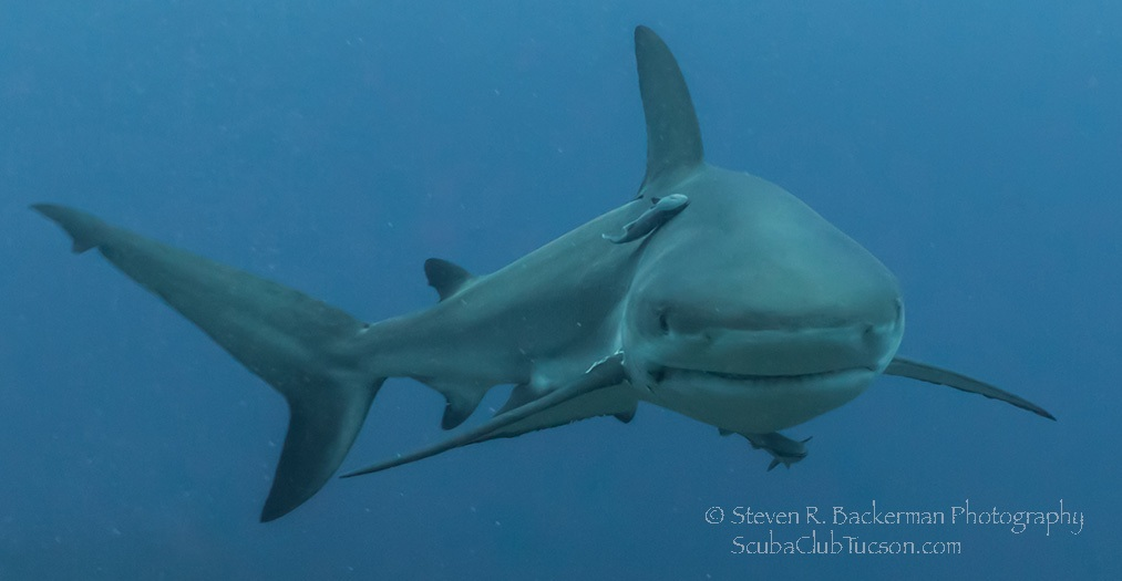 Caribbean Reef Shark 4-4035 website