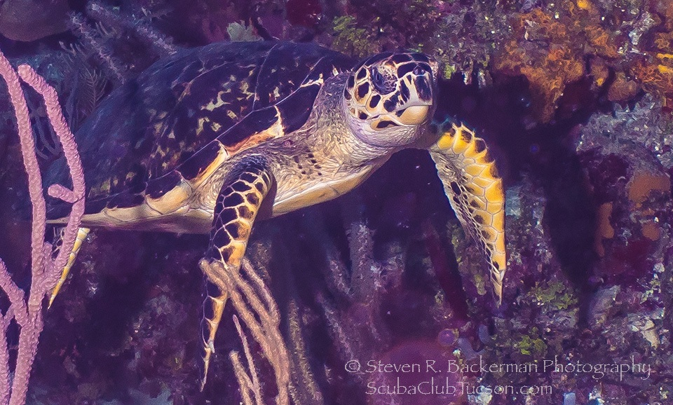 Hawksbill Turtle 2-3818 website
