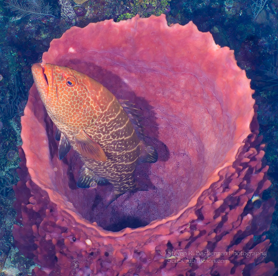 Tiger Grouper inside a Giant Barrel Sponge-4314 website