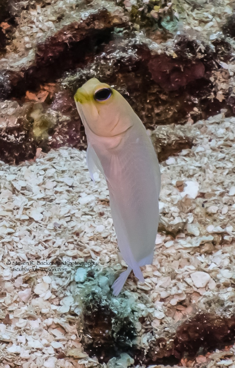 Yellowhead Jawfish 5-3742 website