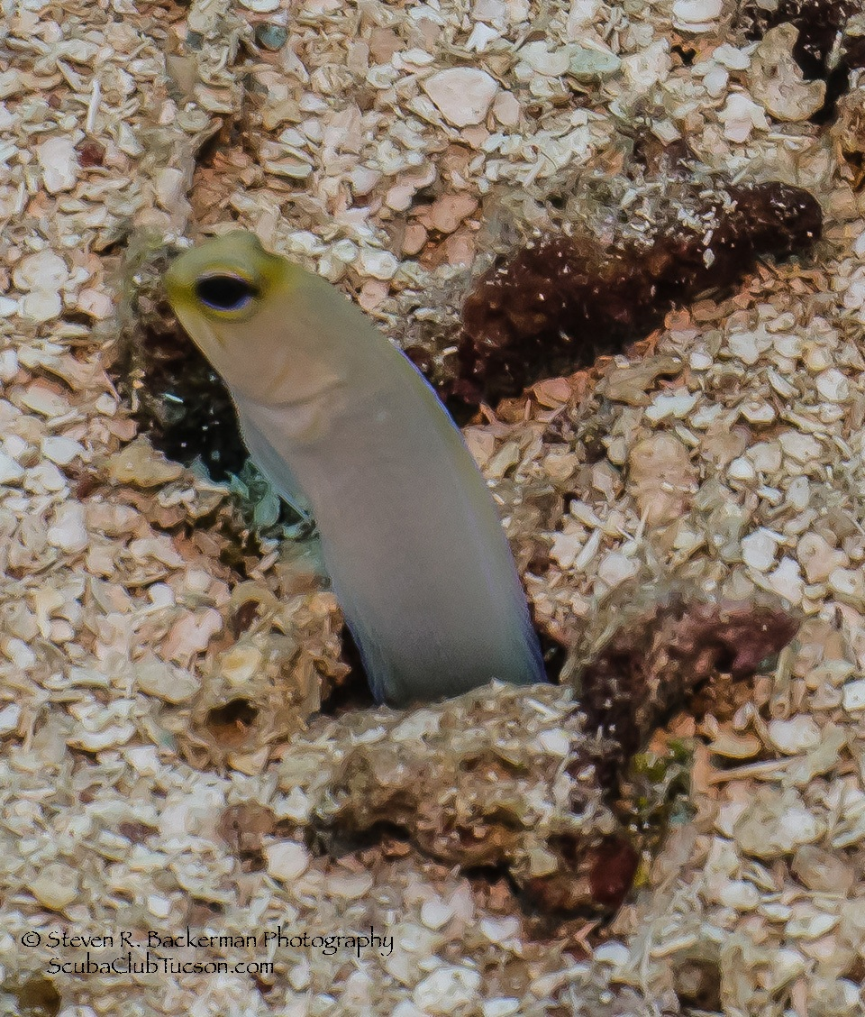 Yellowhead Jawfish 8-3746 website