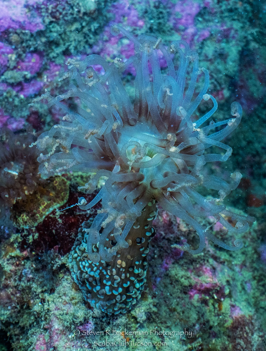 web Beebe's Anemone