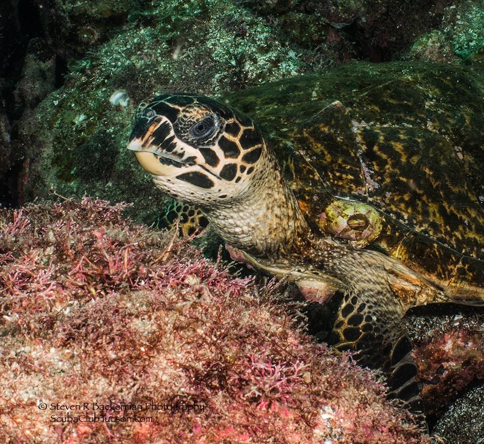 web Hawksbill Turtle