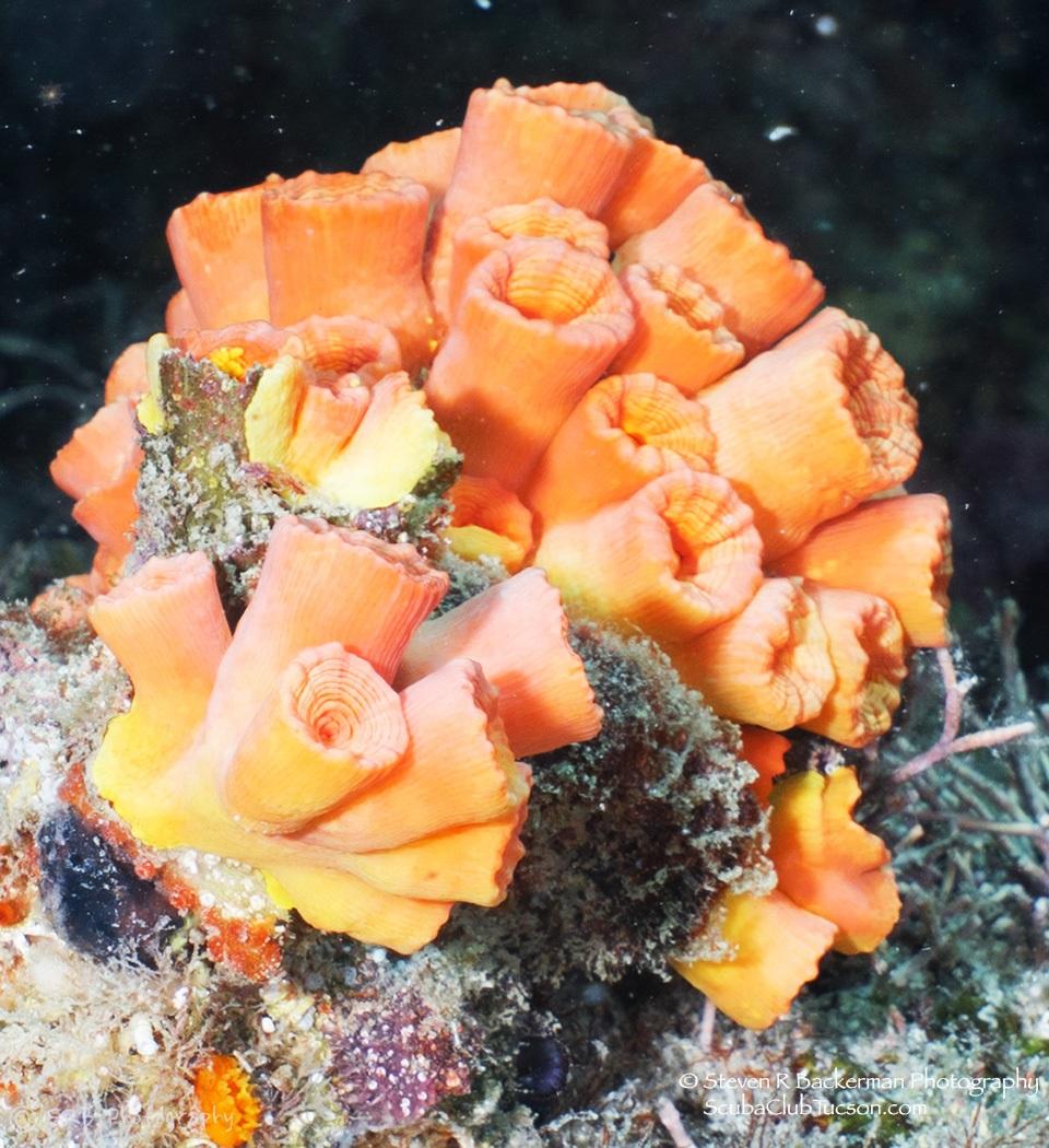 web Orange Cup Coral