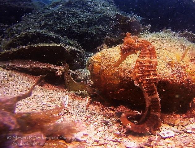 web Pacific Seahorse