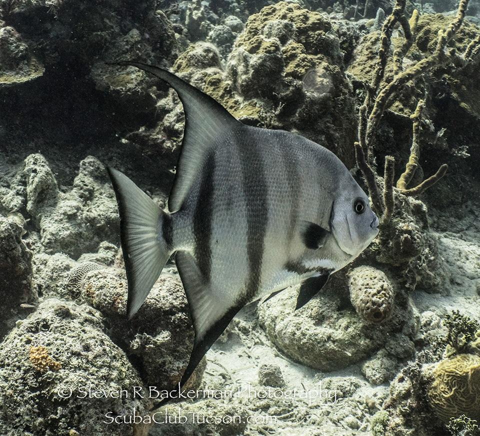 web Atlantic Spadefish-9602