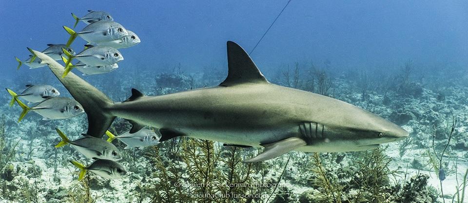 web Caribbean Reef Shark and school of HorseiEye Jacks-9506