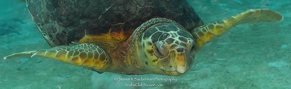 web Hawksbill Turtle 2-9840
