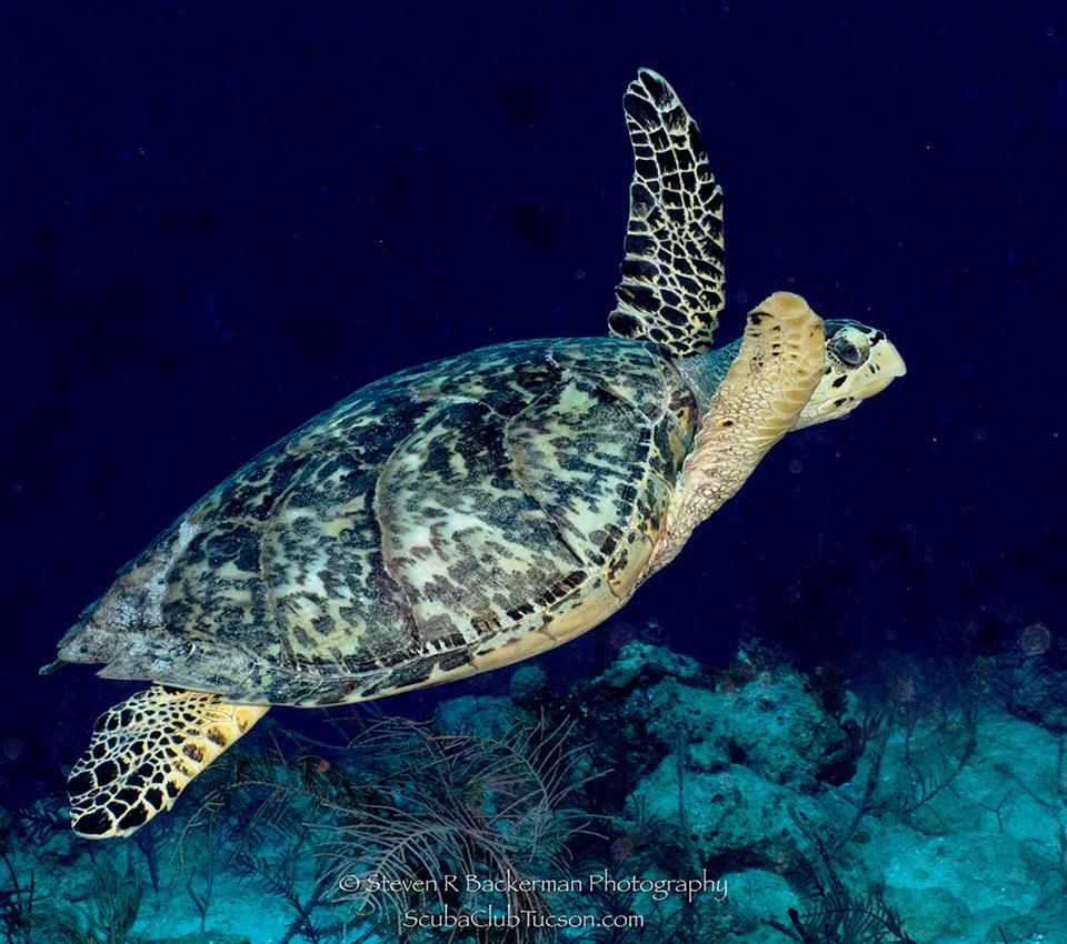 web Hawksbill Turtle-9248