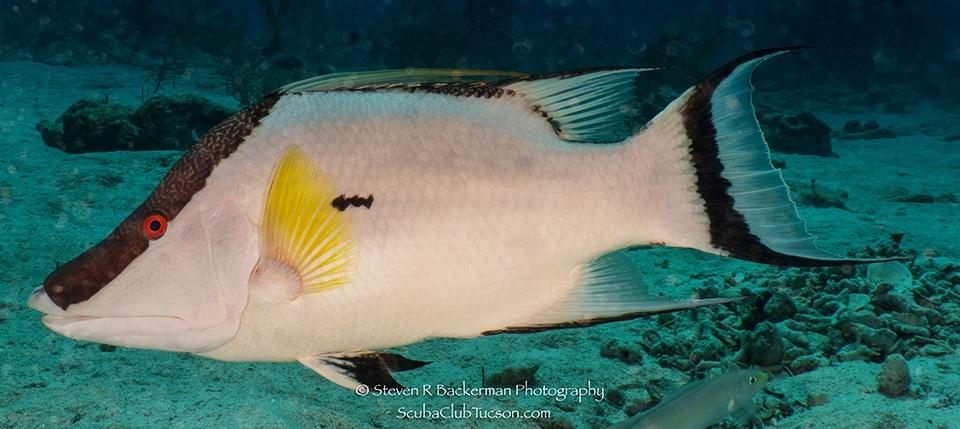 web Hogfish-9351