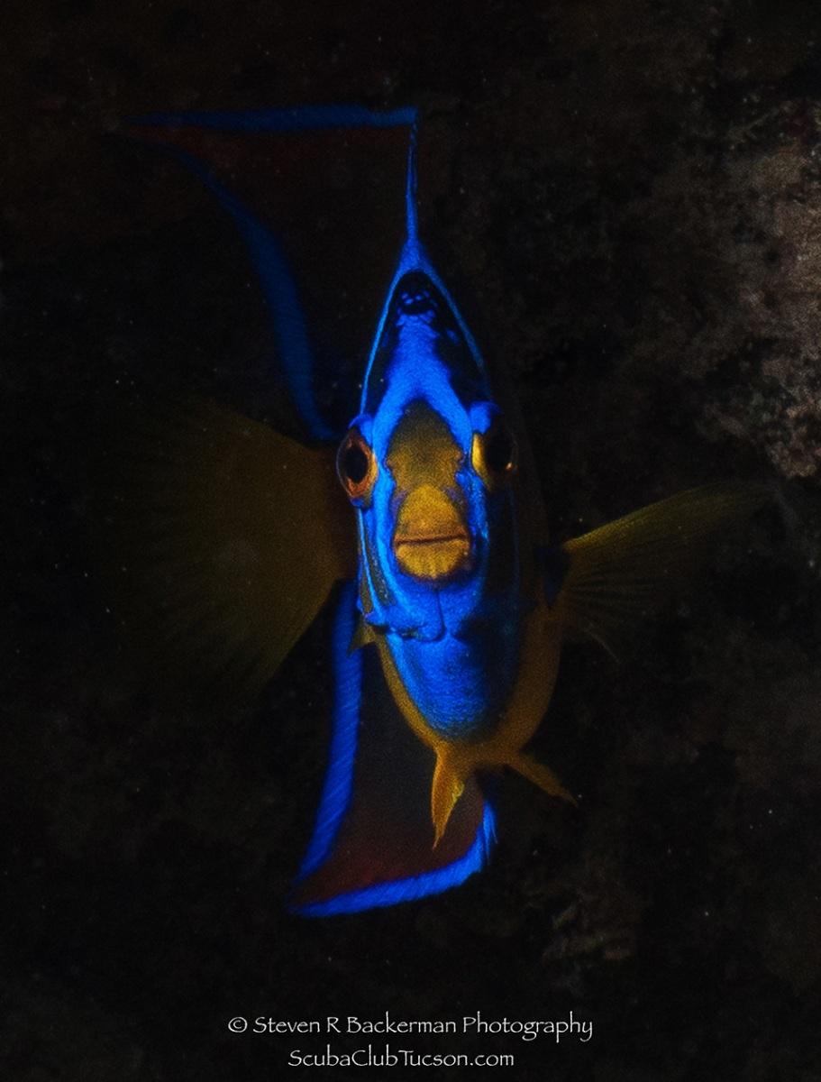 web Queen Angelfish-0004