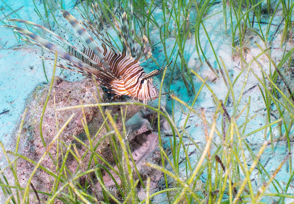 web Red Lionfish-9837