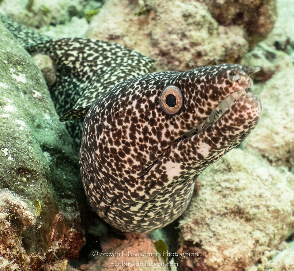 web Spotted Moray Eel 10-0098