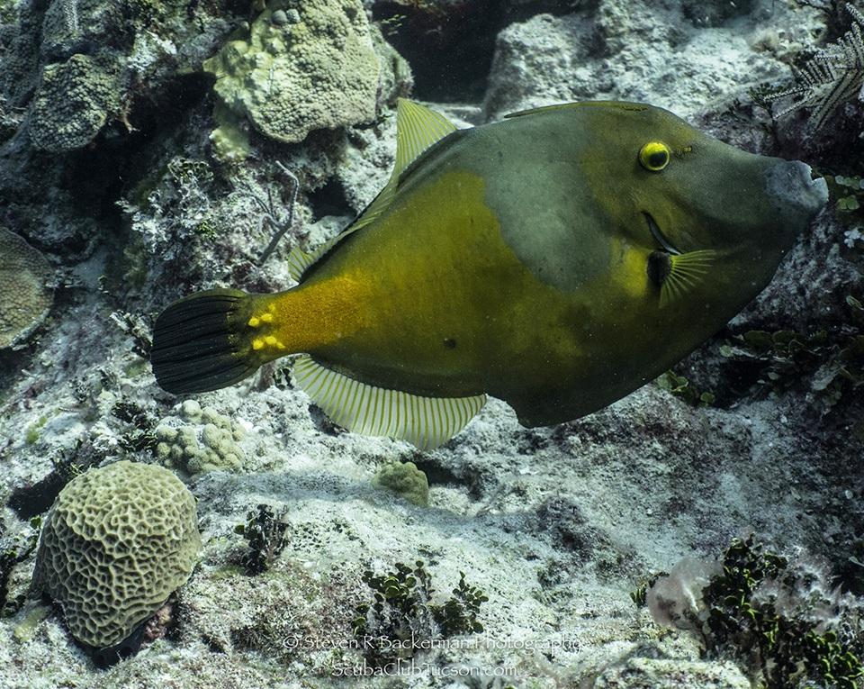 web Whitespotted Filefish-9548