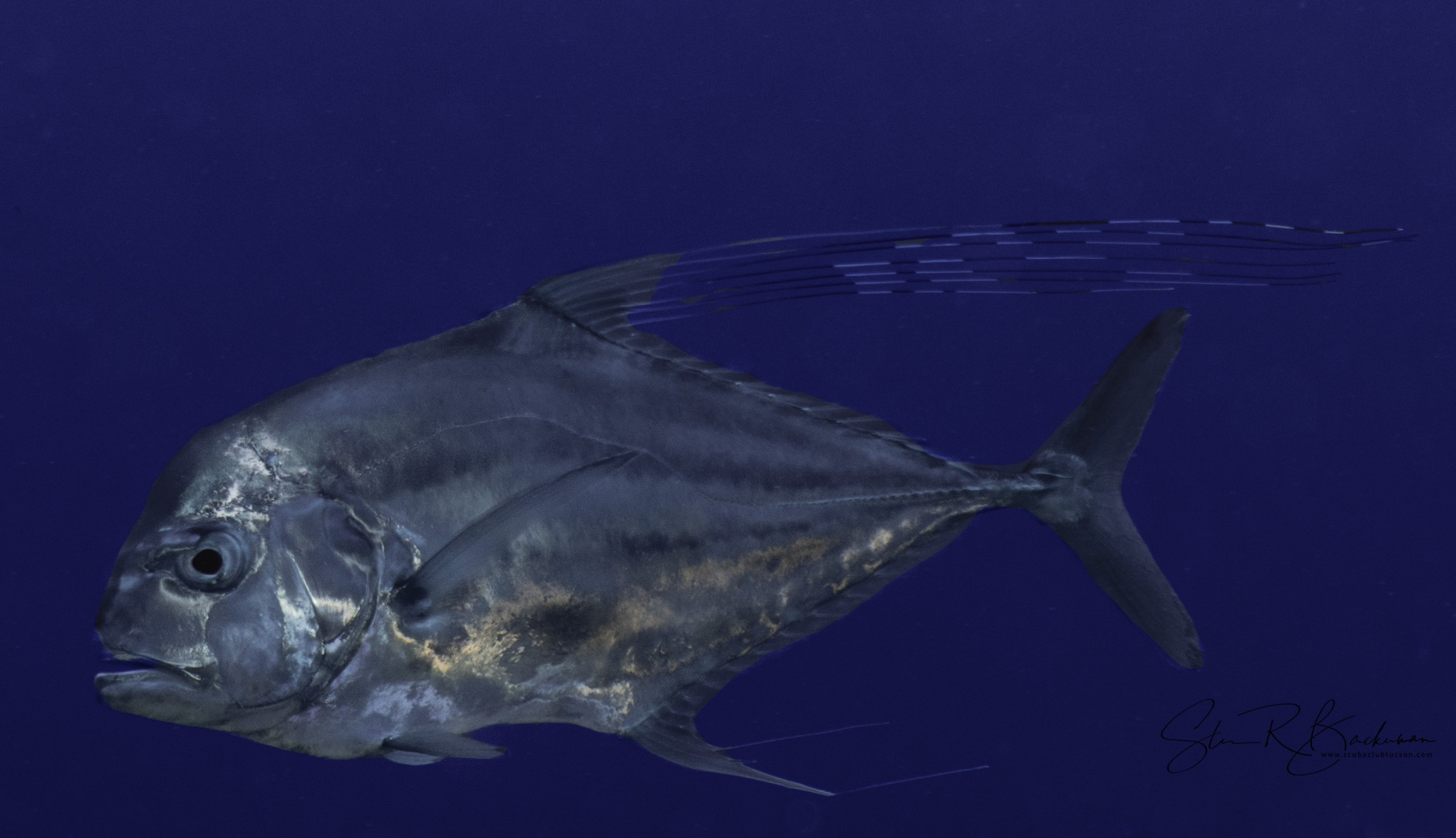 African-Pompano-young-adult