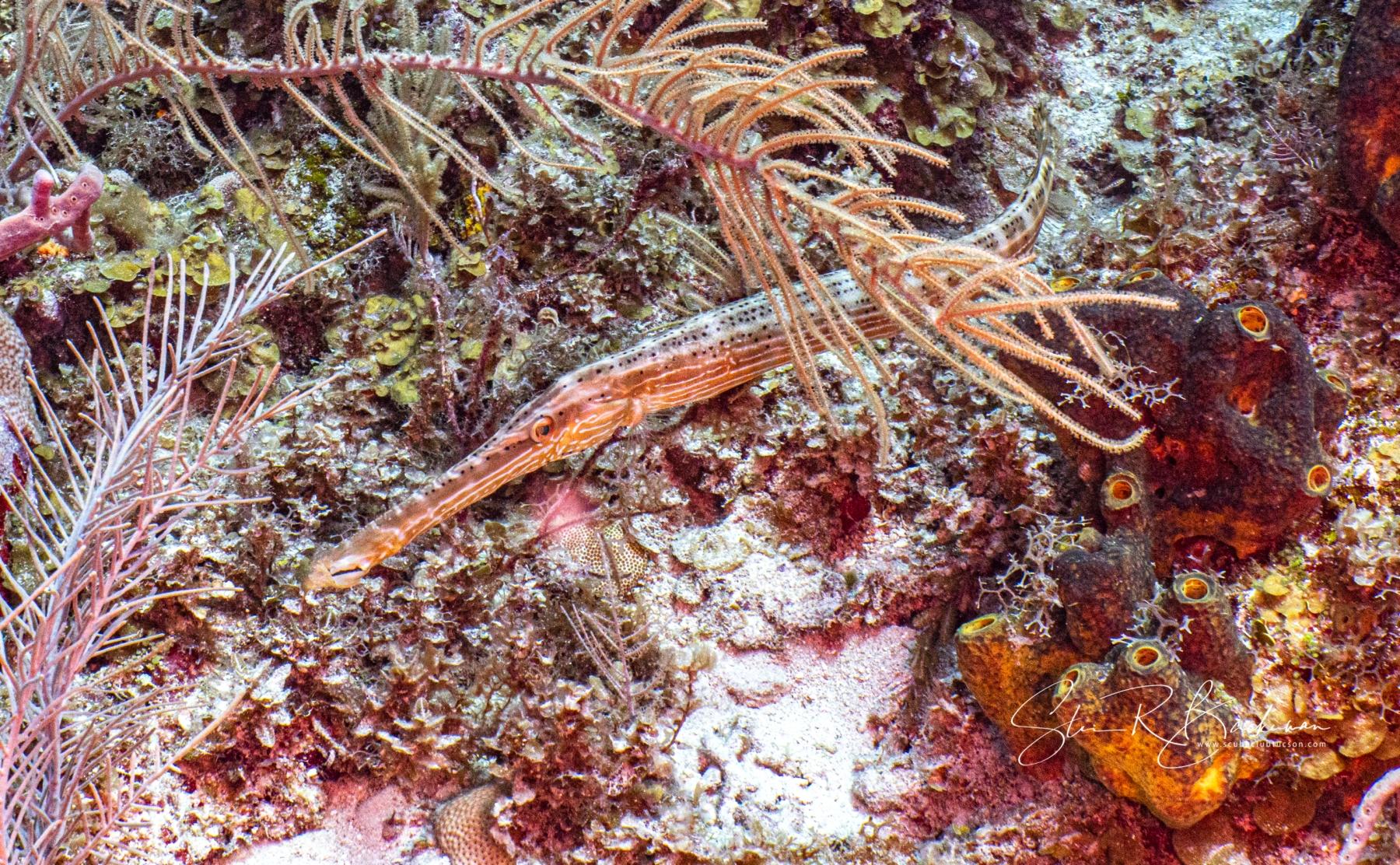 Atlantic-Trumpetfish-5457