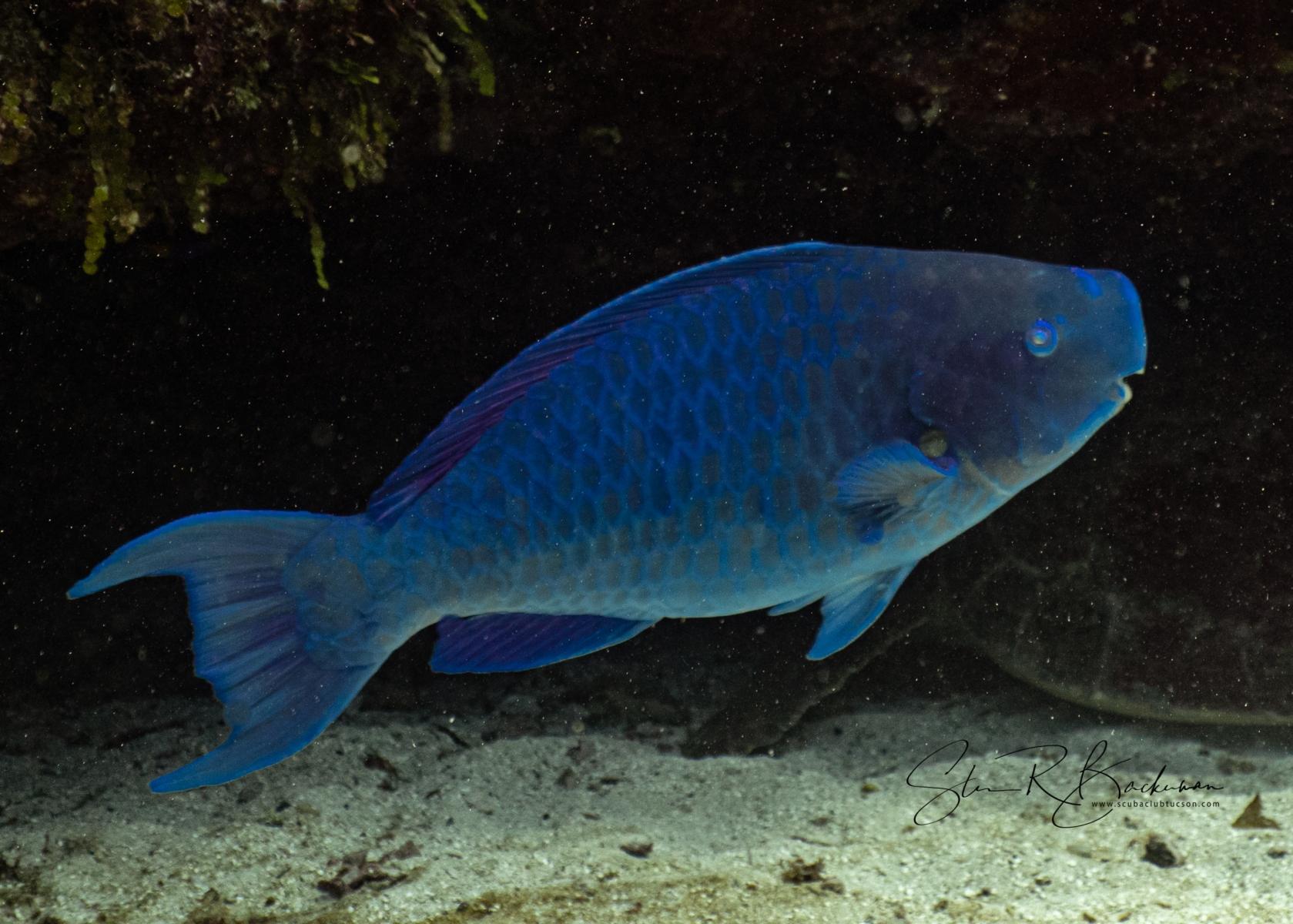 Blue-Parrotfish-5261