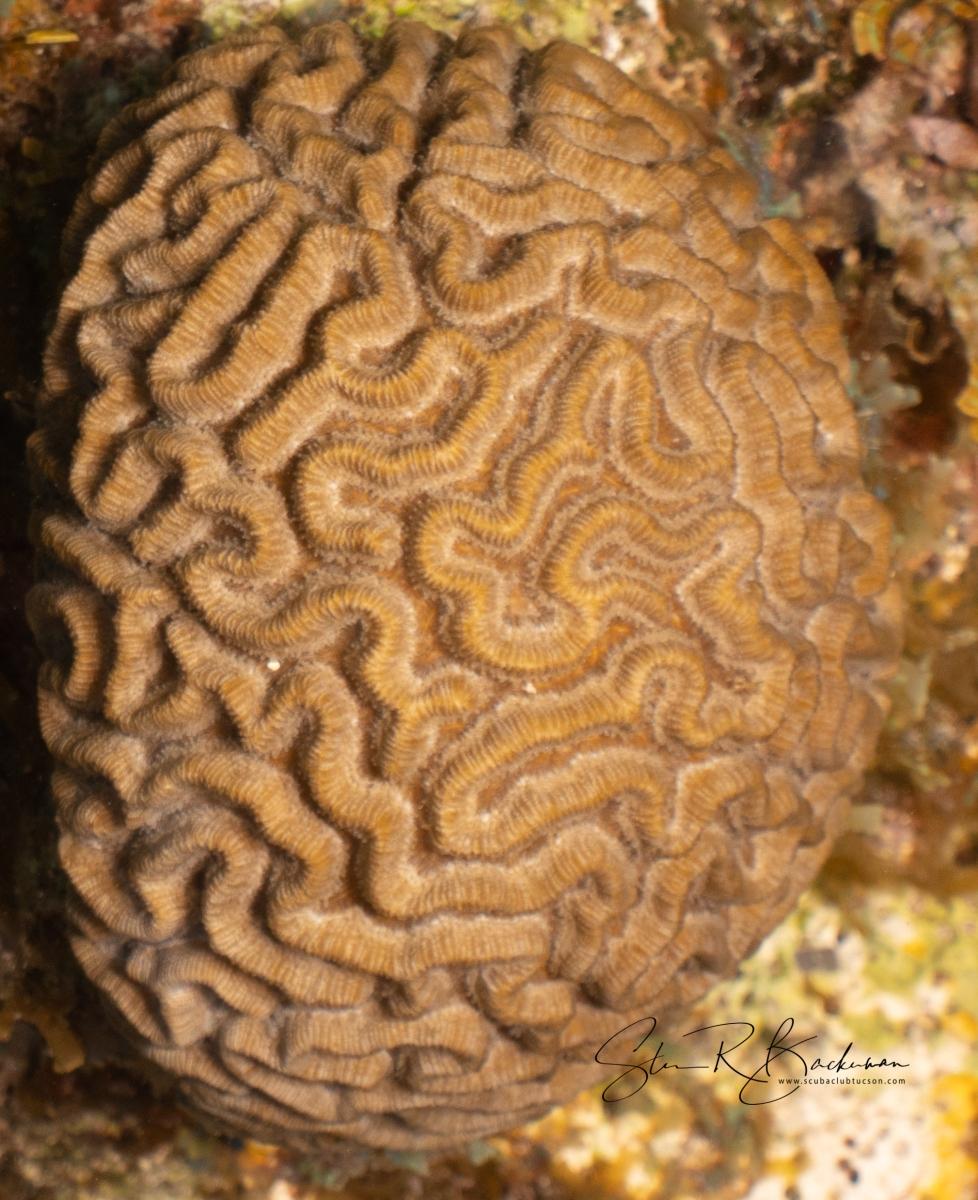 Boulder-Brain-Coral-5150