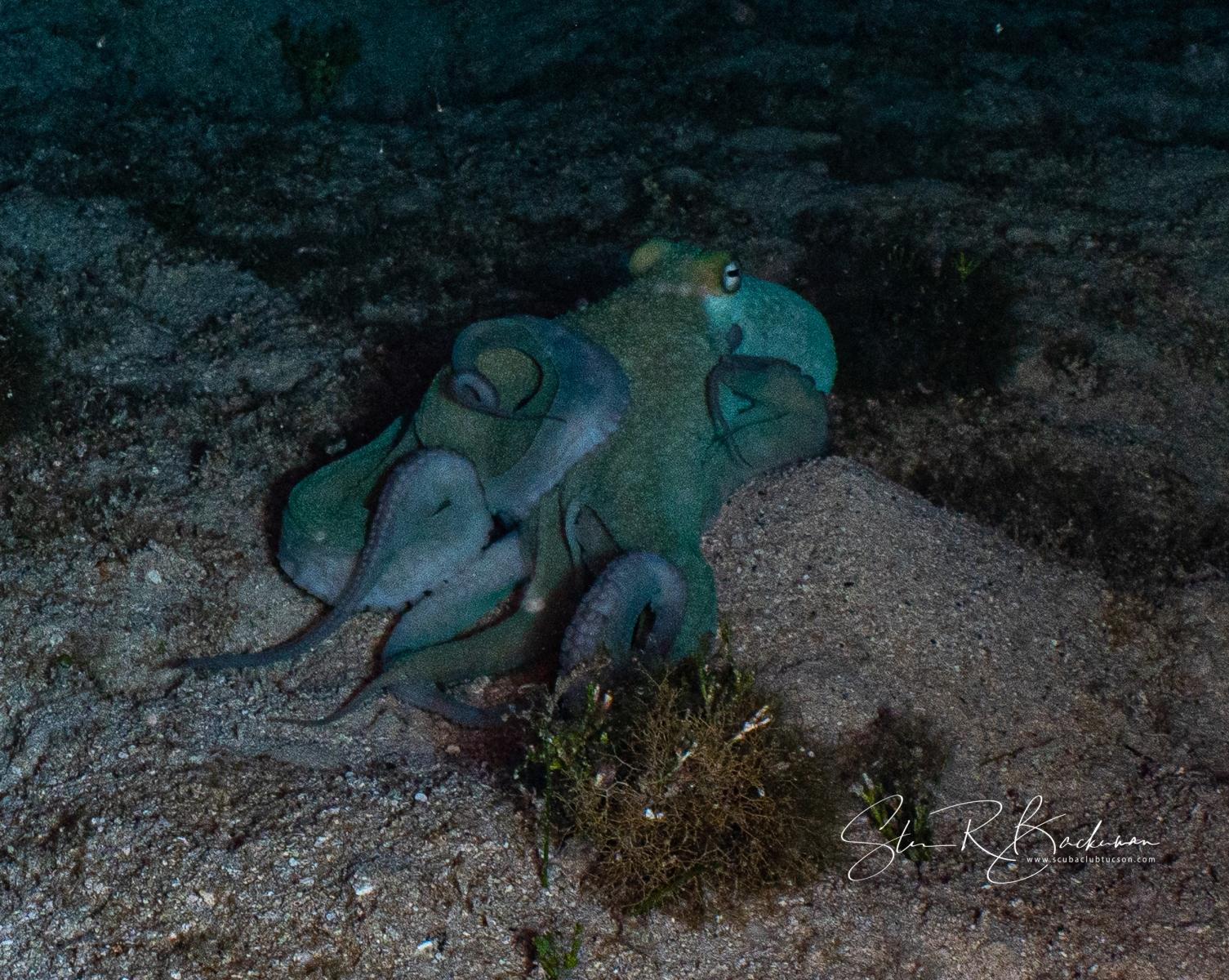 Caribbean-Reef-Octopus-5681