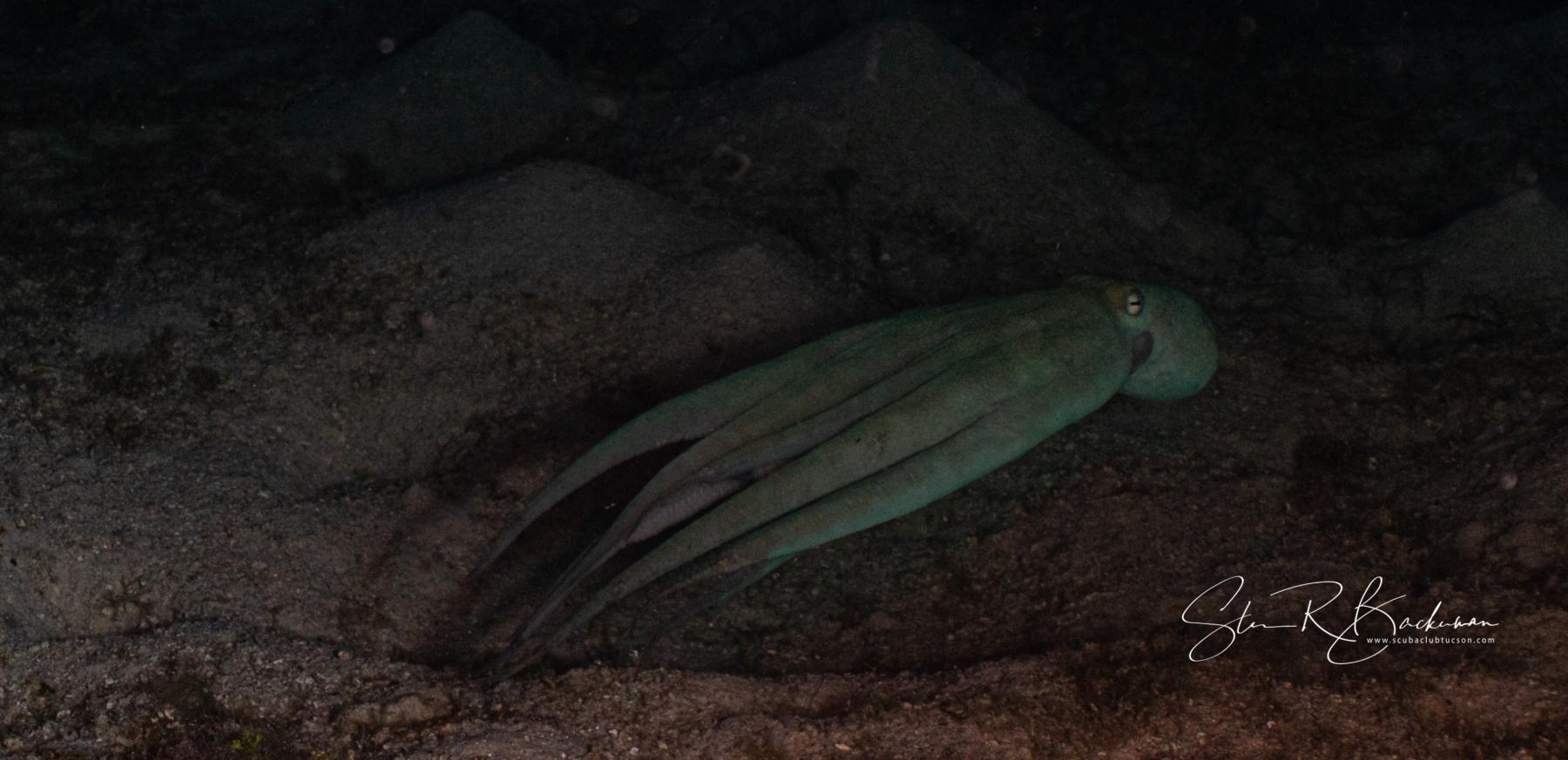 Caribbean-Reef-Octopus-5685