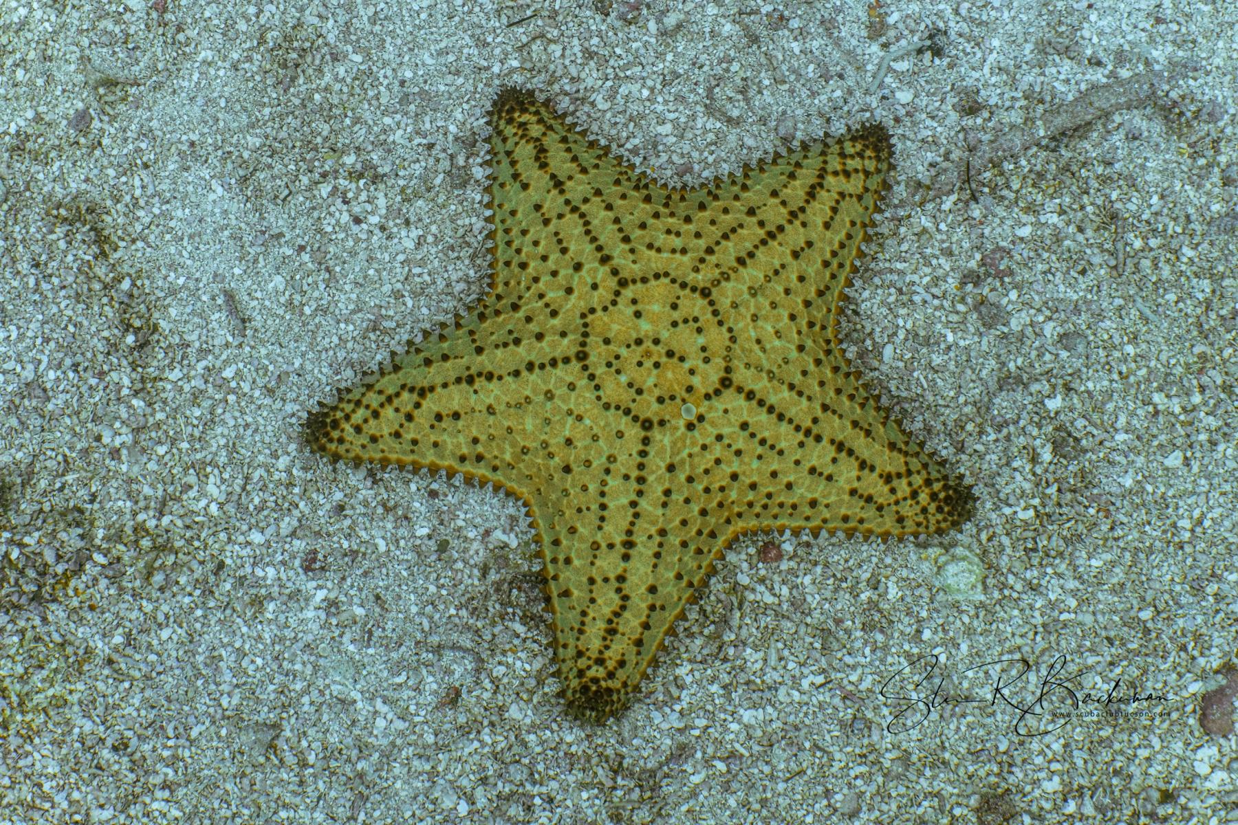 Cushion-Sea-Star-