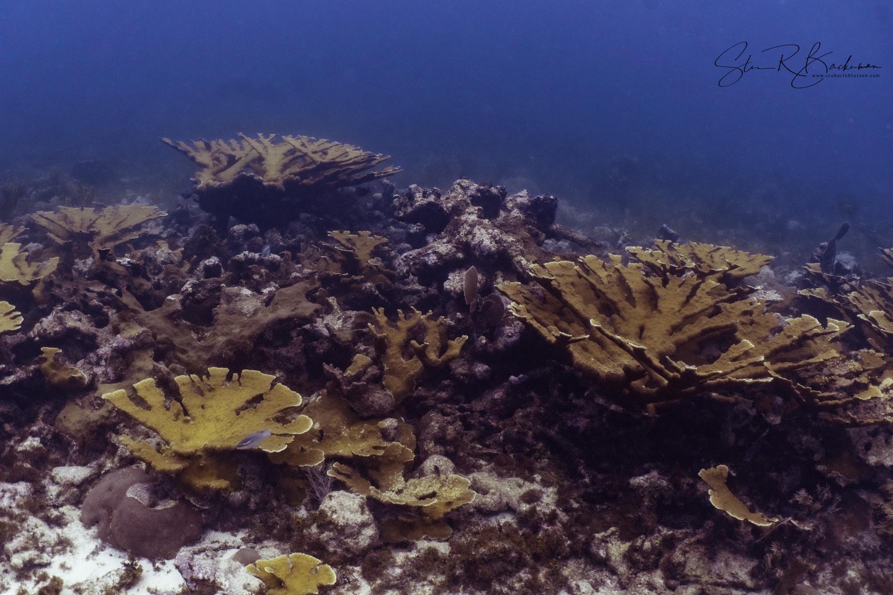 Elkhorn-Coral-Garden