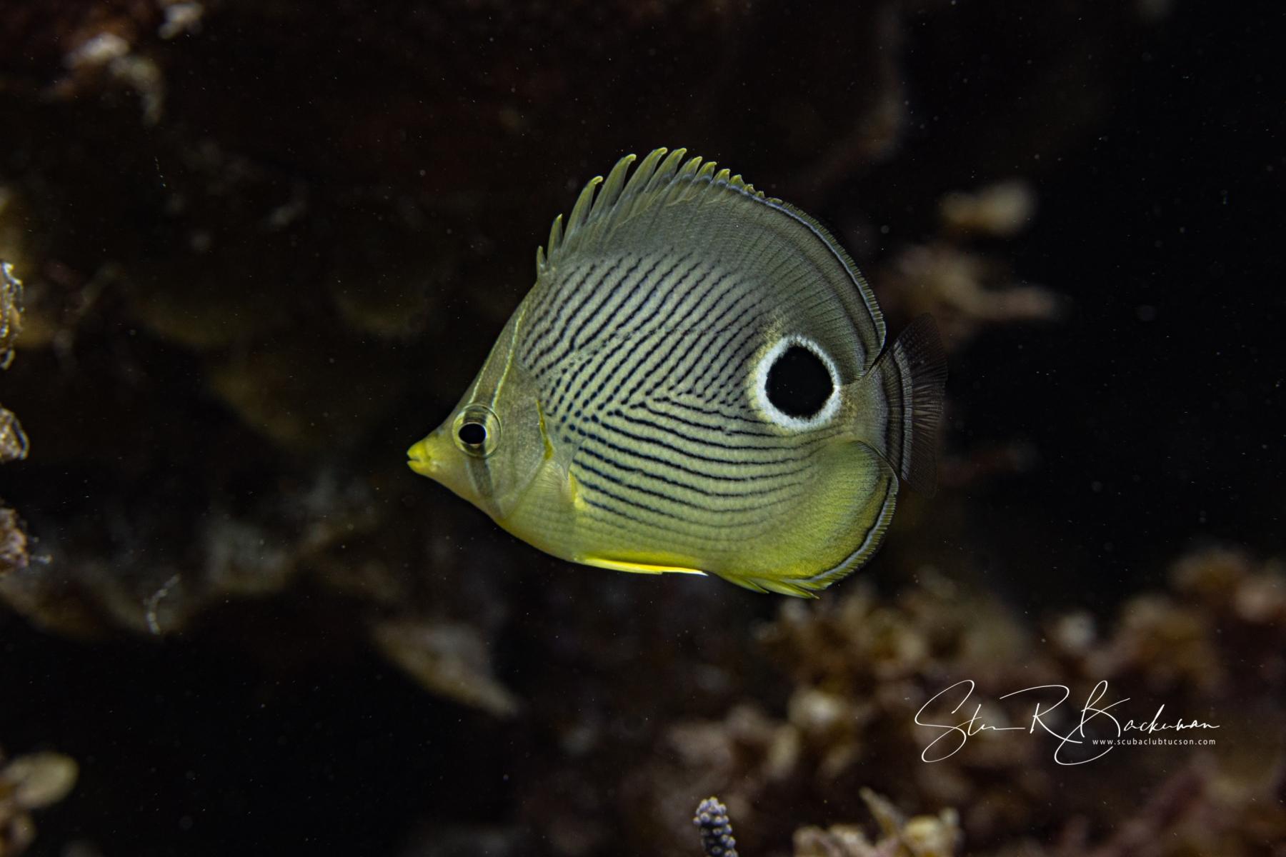 Foureye-Butterflyfish-5634